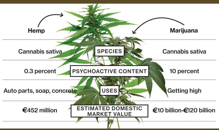 hemp marijuana tree